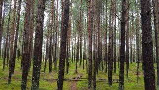 """""""Ragakāpas"""" forest"""