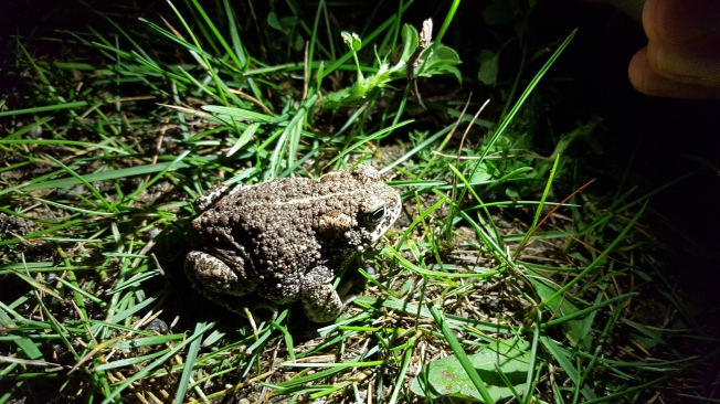 This is as big as full-grown common frog