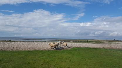 Sheep on a rocky coast