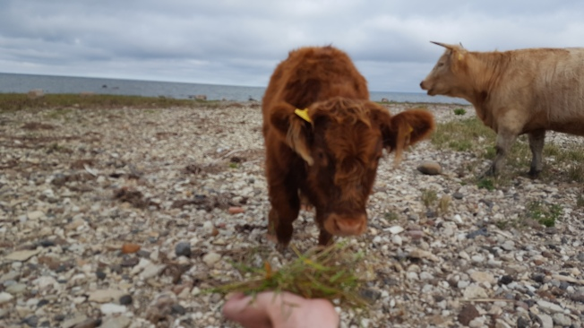 Feeding/ petting a calf